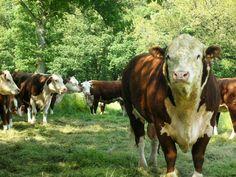 Interessert i gressforet biodynamisk storfekjøtt av ypperste kvalitet? Farm Animals, Funny Animals, Cute Animals, Cattle Farming, Livestock, Hereford Cattle, Beef Cattle, Cattle Dogs, Especie Animal