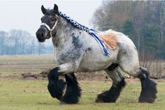 An unusual breed! The Brabant draft horse is the foundation horse for the American Belgian. Until about 1940, the Brabant and the American Belgian were essentially the same horse. After World War II the Brabant was bred in Europe to be thicker bodied and more drafty, with heavy feathering on the legs, while in the United States the Belgian was bred to be taller, lighter bodied and clean legged.