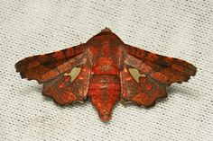 Picture-winged Leaf Moth (Dysodia miniata, Thyrididae)