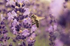 Do you know how much of an impact pollinators have on our access to healthy food?  Or what happens when they disappear? Start streaming FMTV's latest release 'Vanishing Of The Bees' instantly --> https://www.fmtv.com/watch/vanishing-of-the-bees