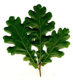 Kuvahaun tulos haulle pihlajan lehdet Plant Leaves, Plants, Plant, Planets