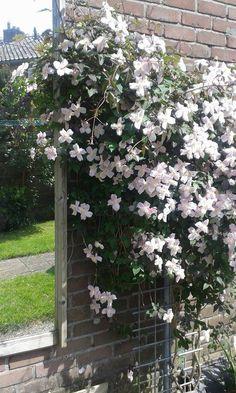 Mooie clematis, bloeit in voorjaar <3