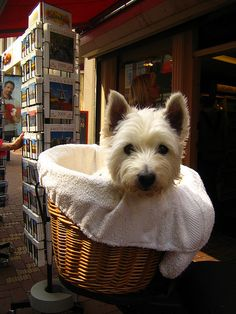 #westie  #terrier @Brian Lucas - this is the kind of puppy I would want!