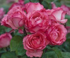 Rosier Panthère Rose ® Meicapinal, rosiers à grandes fleurs Meilland Richardier