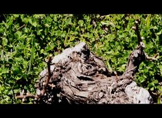 a work in recovering old vines