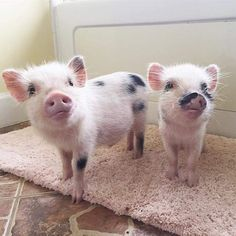 Miniature Pet Pigs – Why Are They Such Popular Pets? – Pets and Animals Cute Baby Pigs, Cute Piglets, Cute Baby Animals, Funny Animals, Baby Piglets, Farm Animals, Tiny Pigs, Pet Pigs, Cute Animal Videos