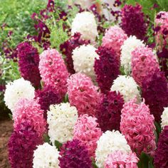 Hyacinth 'Berry Crush,' also known as 'Rubies and Pearls'