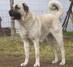ANATOLIAN SHEPHERD & KANGAL DOG - ABSOLUTLEY MY DOG OzDoggy