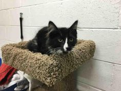 PAWS - URGENT - VAUGHAN ANIMAL SERVICES in Vaughan, ON - ADOPT OR FOSTER - Neutered Male KITTEN Domestic Long Hair