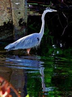 Sulpher Springs, FL - Great Blue Heron  by Diane's Photographic Art and Photos