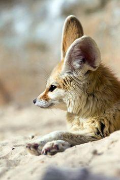 Fennec fox - what big ears you have! Nature Animals, Animals And Pets, Baby Animals, Cute Animals, Most Beautiful Animals, Beautiful Creatures, Fenic Fox, Fennec, Fantastic Fox