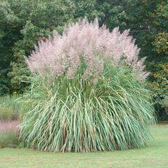 Hardy sugar cane (Saccharum arundinaceum)