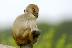 back monkey sitting - Google Search