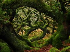 Wistman's Wood, Devon, England.~ an amazing dwarf oak woods nestled in a valley on Dartmoor. GG