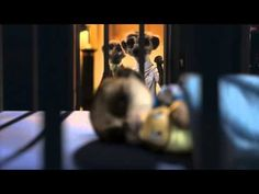 Compare the meerkat -- Daily life with Baby Oleg - YouTube