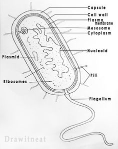 Prokaryotes are the organisms which have primitive nucleus. All bacteria are prokaryotes because they lack a distinct nucleus with nuclea...