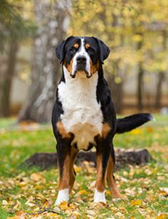 Highlights: *Descendants from Julius Caesar's legions' war dogs which were brought over the Swiss Alps *Closely related to the Bernese Mountain Dog A newer breed to the AKC recognized officially in 1995 *Frequently used as search and rescue dogs *The oldest and largest of the Swiss Mountain breeds