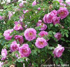 Rosa Pimpinellifolia-ryhmä 'Poppius' = suviruusu Beautiful Flowers Pictures, Flower Pictures, Dreams, Make It Yourself, Garden, Google, Plants, Eggs, Beautiful Pictures Of Flowers
