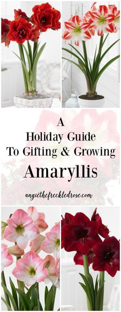Some of my favorite gifts to give during the winter season are Amaryllis bulbs. It's a thoughtful present that everyone can enjoy! I'm excited to share with you a little about this amazing flower along with a list of my top varieties to give as gifts. More here... A Holiday Guide To Gifting & Growing Amaryllis | angiethefreckledrose.com