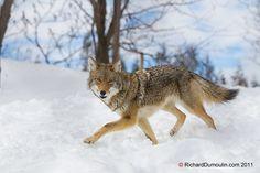 Coyote / Canis latrans by RichardDumoulin, via Flickr