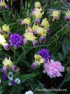 semi-shade mix: peony, iris and bellflower