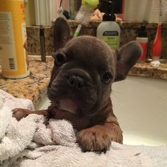 Cool Beans, the French Bulldog Puppy, is having his monthly Spa Treatment. Cute Puppies, Dogs And Puppies, Cute Dogs, French Bulldog Puppies, French Bulldogs, Cute Animal Pictures, Dog Pictures, Baby Animals, Cute Animals