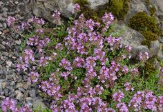 Kryptimian (Thymus serpyllum) Thymus Serpyllum, Plants, Plant, Planets