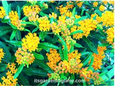6 Reasons for #Milkweed #Shrub in Your #Garden! We love the bright orange blooms and the beneficial aspects of our Milkweed ... To learn how Milkweed helps #Monarch #Butterflies visit http://itsgardeningtime.com/?p=3642 #gardening #gardeningtips #gardens #gardeningtipsforbeginners #gardendc #gardenchat