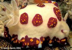 The Sea Slug Forum - Chromodoris cazae