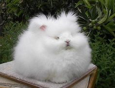 How lovely – Angora rabbits! These adorable rabbits are bred in Turkey, for the sake of their long and soft fur