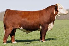 60 seconds slideshow of hereford bulls images. Hereford cattle are a beef cattle breed, widely used in many different climates, primarily for meat production. Bull Images, Cattle For Sale, Hereford Cattle, Mini Cows, Cow Ears, Longhorn Cow, Fluffy Cows, Gyr, Taurus