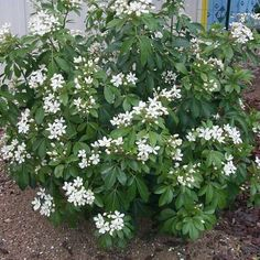 Choisya Ternata- blooms profusely in the late spring and lightly in the fall. To 5 feet if not pruned.