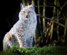 Lynx, by Alida Jorissen. Love the ears.