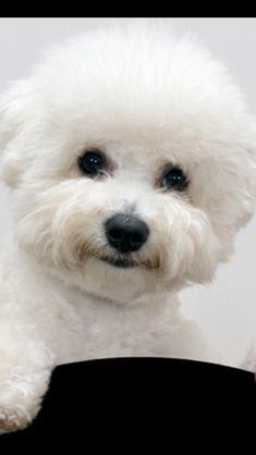 A beautiful little Bichon! Bichon Dog, Havanese, Teacup Chihuahua, Maltipoo, Cute Puppies, Dogs And Puppies, Cute Dogs, Doggies, Shih Tzu