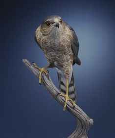 Sharp-shinned Hawk - Wood Sculptor Bob Guge