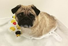 Today we have the latest social pug profile cutie. Check out our interview with the fun Ronnie Wood. http://www.thepugdiary.com/social-pug-profile-ronnie-wood/