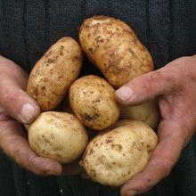 Potato 'Kennebec'