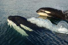 killer whale  pics tumblr | tumblr_m58b7f1bQm1qb37fmo1_1280.jpg