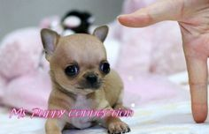 Teacup Chihuahua Puppies For Sale 1