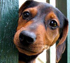 COACH Dachshund Weiner Dog Sticker Patch Brick Red  NWT