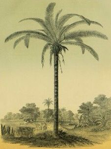 Palm Tree, Astrocaryum, from L'Illustration Horticole, edited by Charles Antoine Lemaire, ca.1854