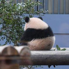 takahiro takaujiさんはInstagramを利用しています:「まるっと 2018.02.04 #上野動物園 #パンダ #シャンシャン #uenozoo #giantpanda #panda #xiangxiang」