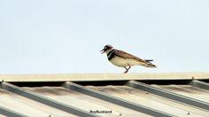 a Killdear bird