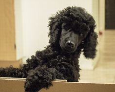 Almost like a bear | Poodle puppy
