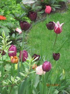 love the black tulips