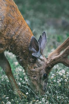 New free photo from Pexels: https://www.pexels.com/photo/brown-buck-eating-grass-during-daytime-132822/ #nature #flowers #eating