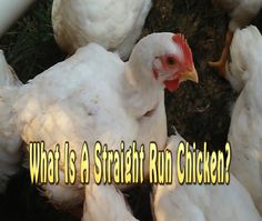 Learn what a straight run chick is.