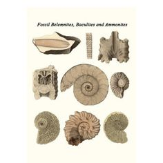 Buyenlarge 'Fossil Belemnites, Baculites and Ammonites' by James Parkinson Graphic Art Ammonite, Brown And Grey, Gray, Wonderful Images, Art Reproductions, Vintage Art, Fossil, Graphic Art, Place Card Holders