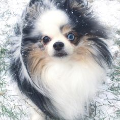 Bella, Blue Merle Parti Pomeranian