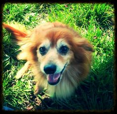 Jasmine is a wonderful little Pomeranian/Dachshund mix in URGENT need of a loving home. She is in the midwest, but transport is available! For more information on this amazing little senior girl, please contact us at rubyintheruffadoptions@gmail.com